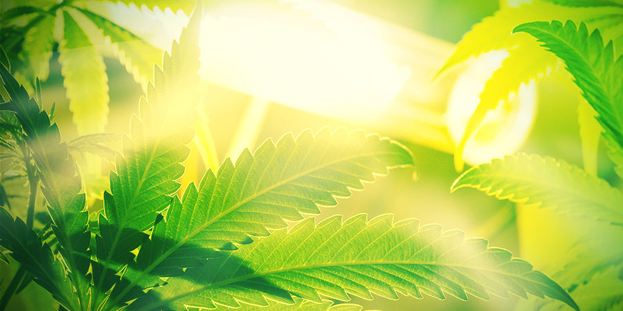 Autoflowering strains Aren't Susceptible to Ambient Light