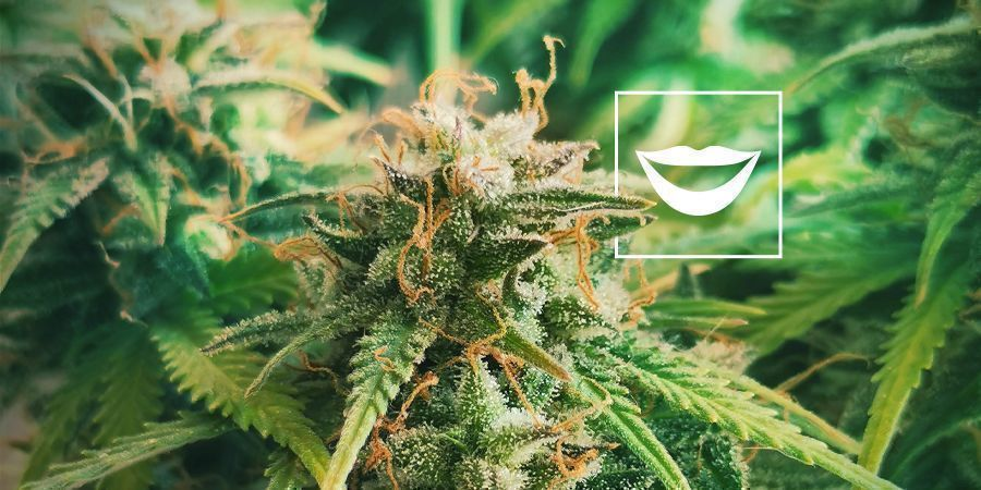 BEST CANNABIS STRAINS FOR LAUGHING