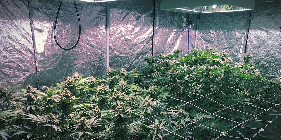 LEC Lights - Cannabis Plants