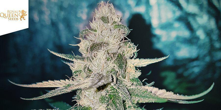 Sweet ZZ (Royal Queen Seeds)