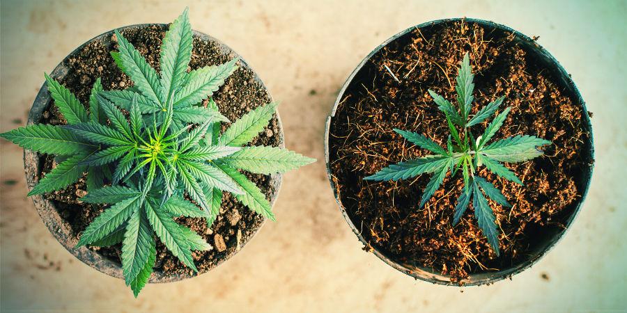 GROWING CANNABIS USING COCO COIR