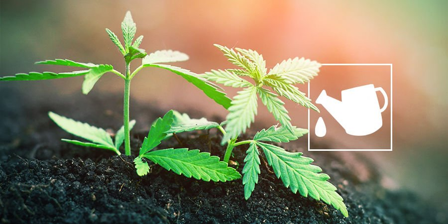 WHAT IS A CANNABIS GROWING MEDIUM AND WHY DOES IT MATTER?