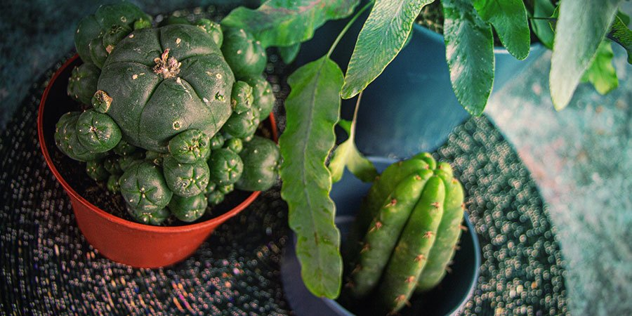 Growing Mescaline Cacti From Seed — The Bottom Line