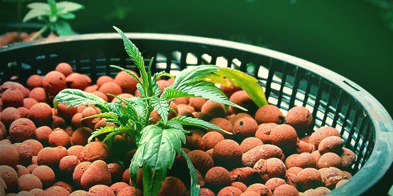 Mega Cannabis Buds: Silica With Hydroponics