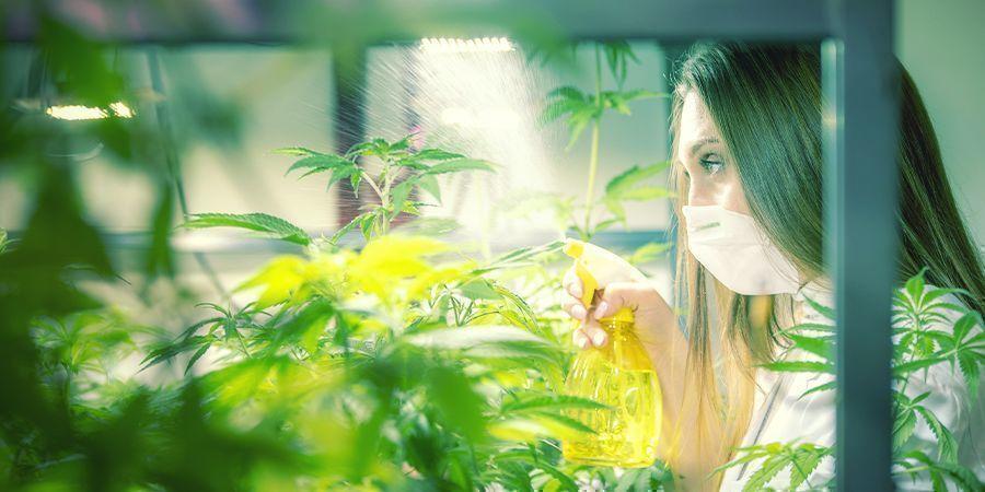 How And When To Foliar Spray Cannabis Plants