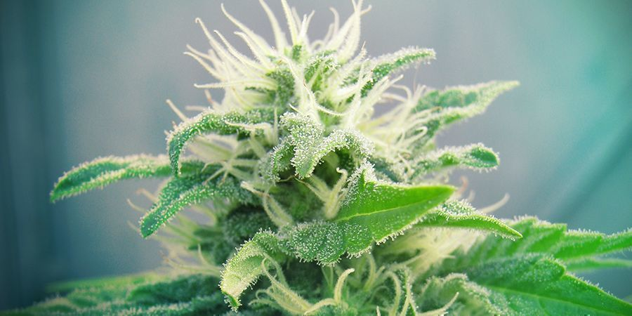 Jack Herer Cannabis Marijuana Strain
