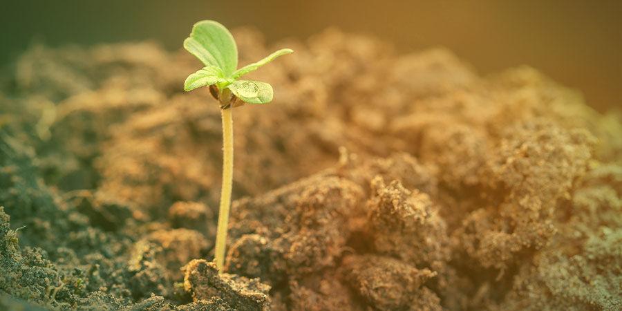 HOW TO GROW AGENT ORANGE