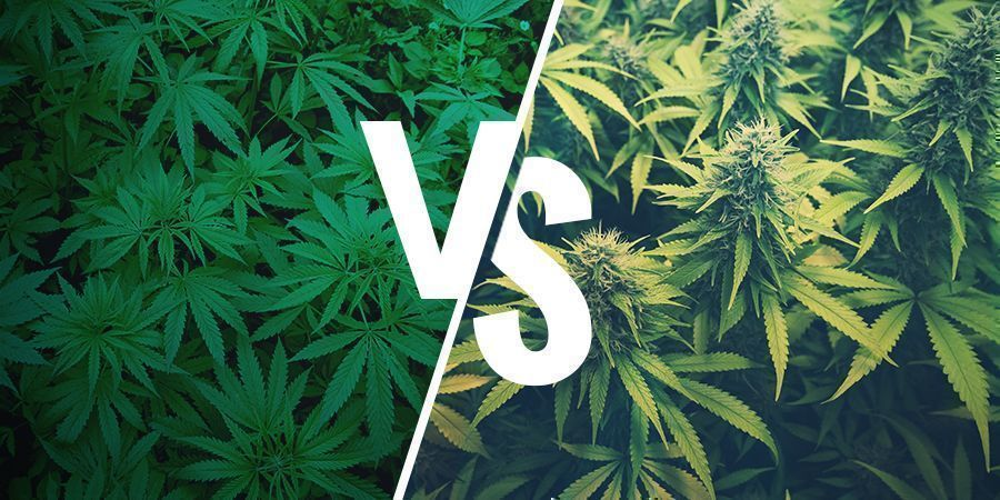 WHAT IS HEMP AND HOW IS IT DIFFERENT FROM MARIJUANA?