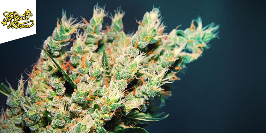 Arjan's Haze 3 (Greenhouse Seeds)