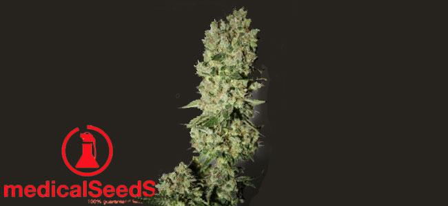 Sour Diesel Medical Seeds