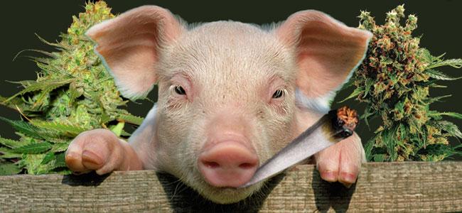 Cannabis Pig