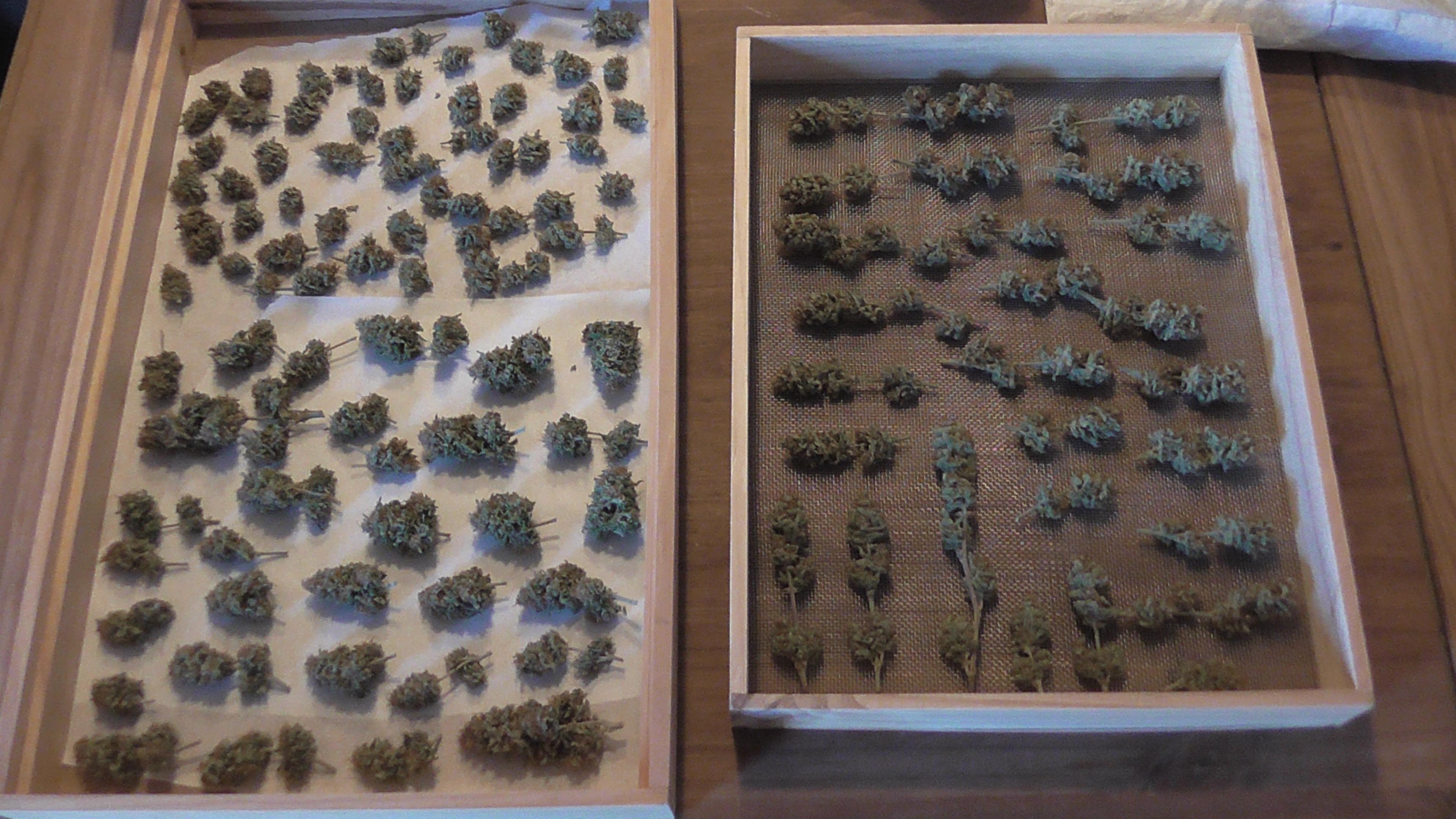 Cannabis Buds drying