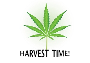 Harvest Time Cannabis