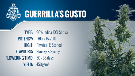 Guerrilla's Gusto (Sensi Seeds) Regular