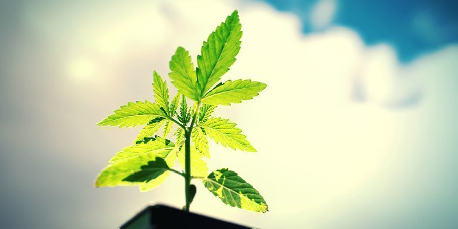 How To Grow Power Flower