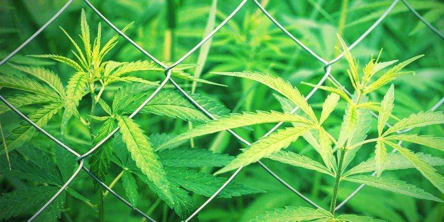 Choosing your cannabis growing site