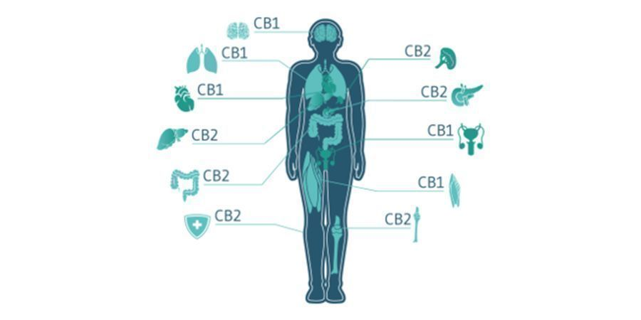 How Do Cannabinoids And The ECS Interact?