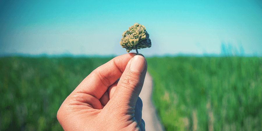 What is considered a high CBD strain?