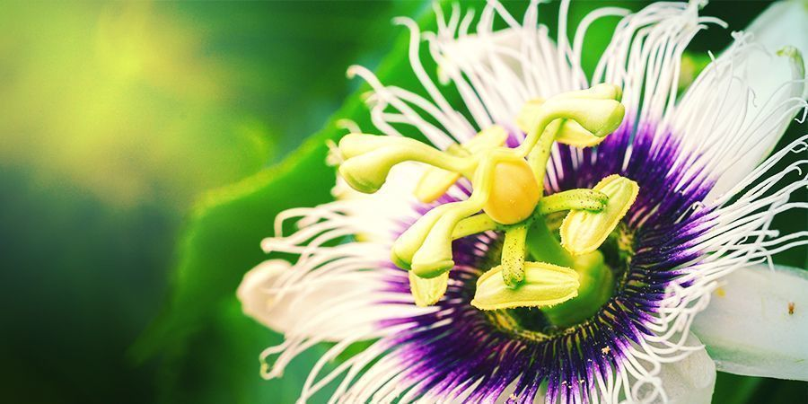 HOW DO YOU GROW PASSIONFLOWER?