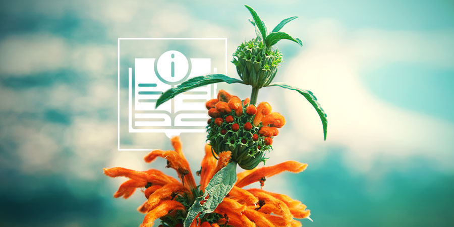 Leonotis Leonurus: Everything You Need To Know