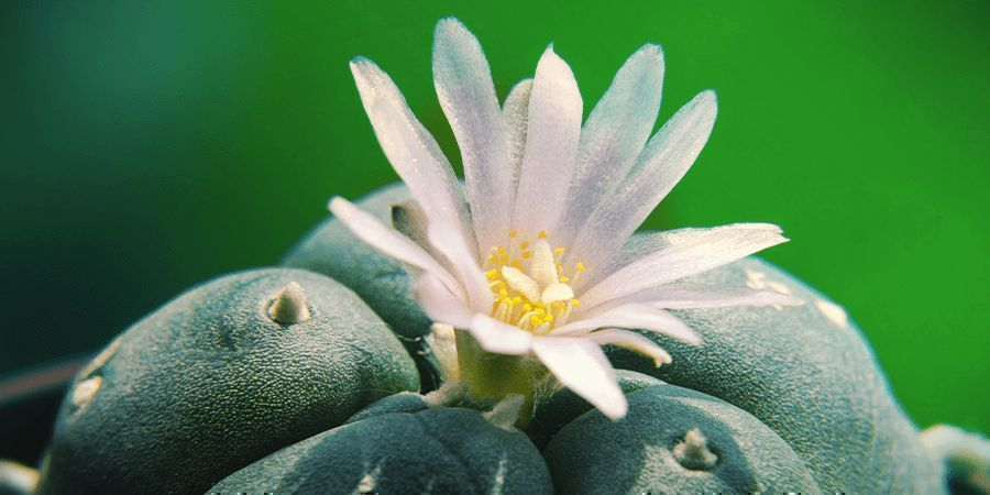 WHAT IS PEYOTE?