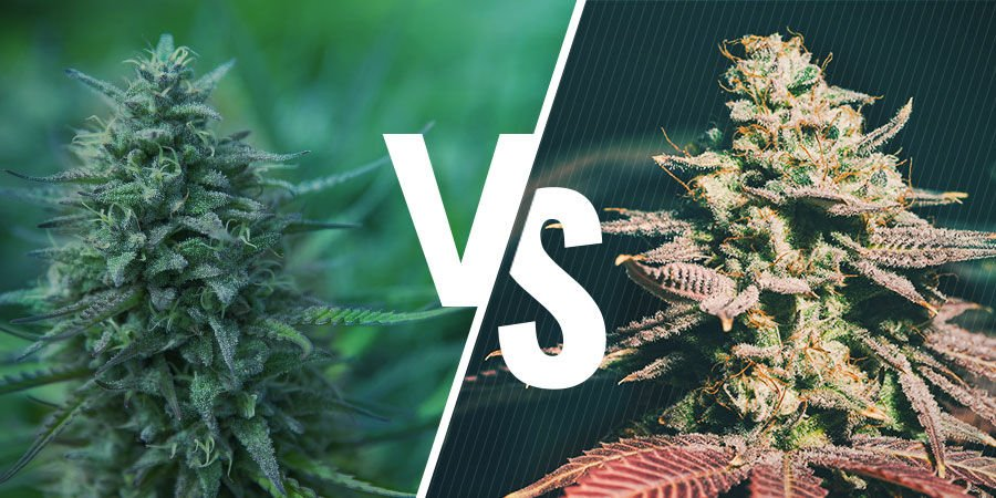 Photoperiod VS Autoflowering Cannabis Which Is Right For You
