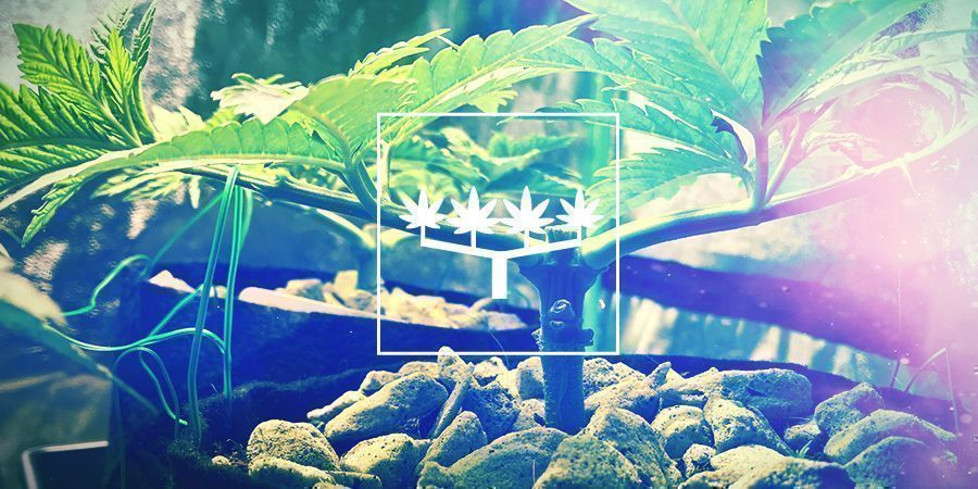 Main-lining Cannabis: Everything You Need To Know