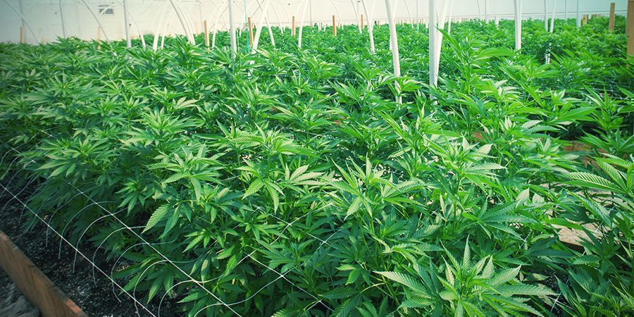 BENEFITS AND CHALLENGES OF TRELLISING CANNABIS