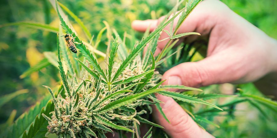 How To Recognise A Sativa Cannabis Plant