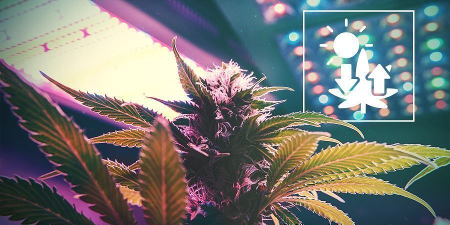 Cannabis And Photosynthesis