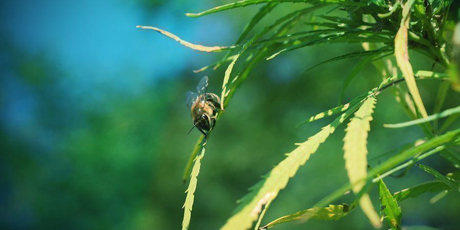Cannabis Plant Pollination