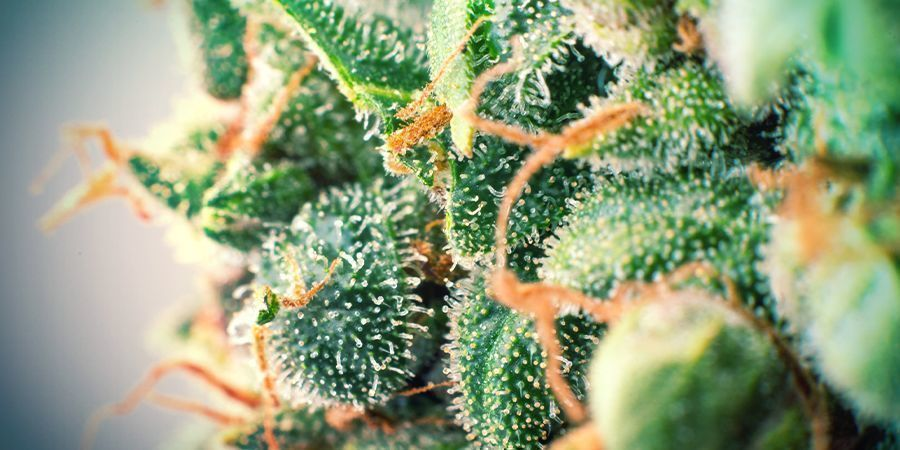 The Effects And Benefits Of Terpenes