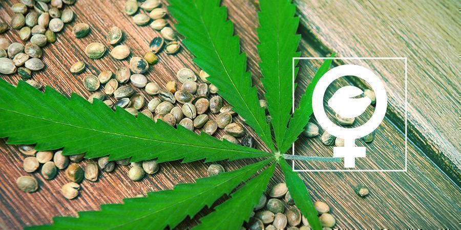 What Are Feminized Cannabis Seeds?