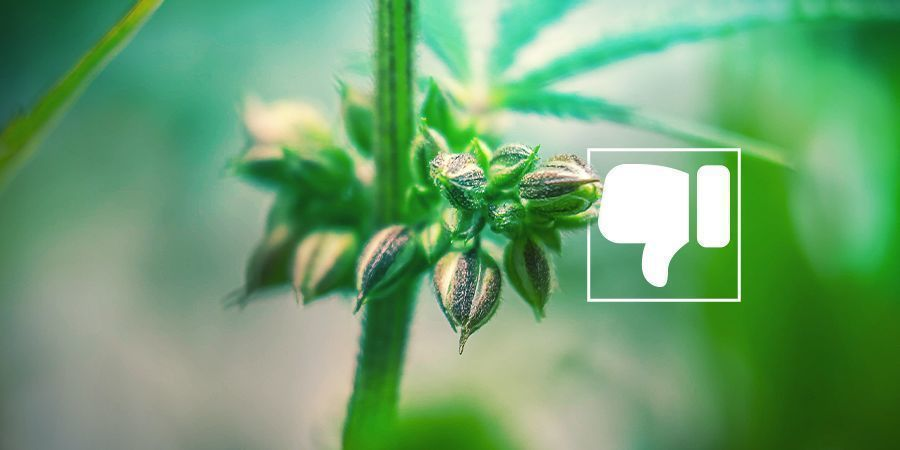 Why You (Likely) Don't Want Male Cannabis Plants