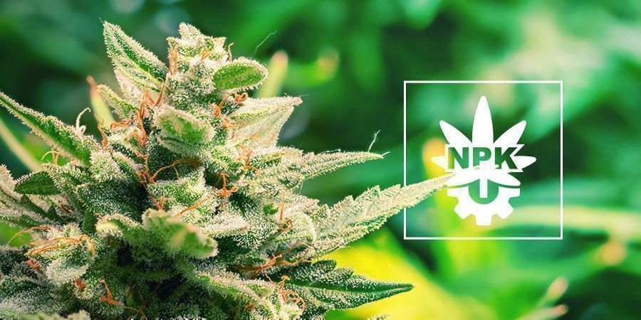 Do Autoflowers Need Nutrients?