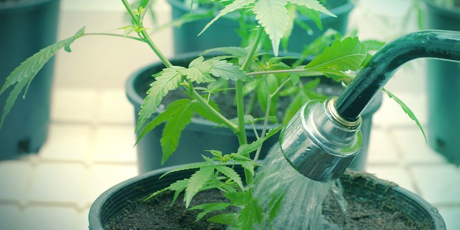Watering Cannabis Plants Can Be Demanding