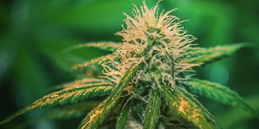 How To Water Cannabis During Flowering