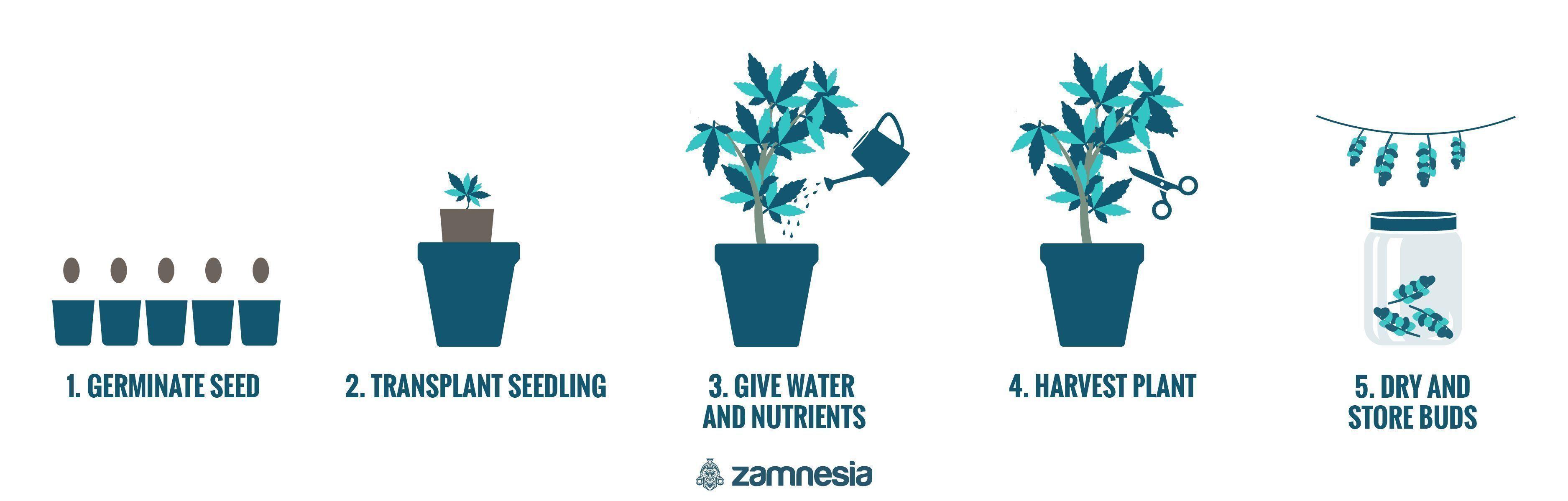 Growing Cannabis In 5 Easy Steps