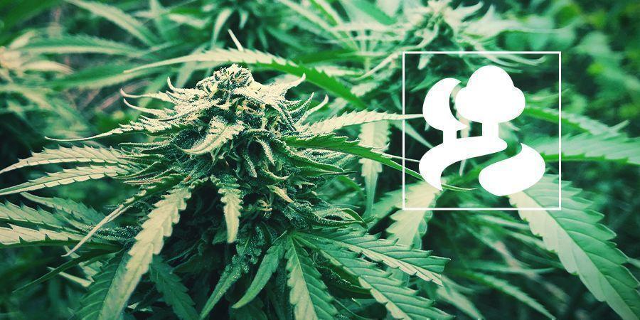 Guerrilla Growing Cannabis Plants
