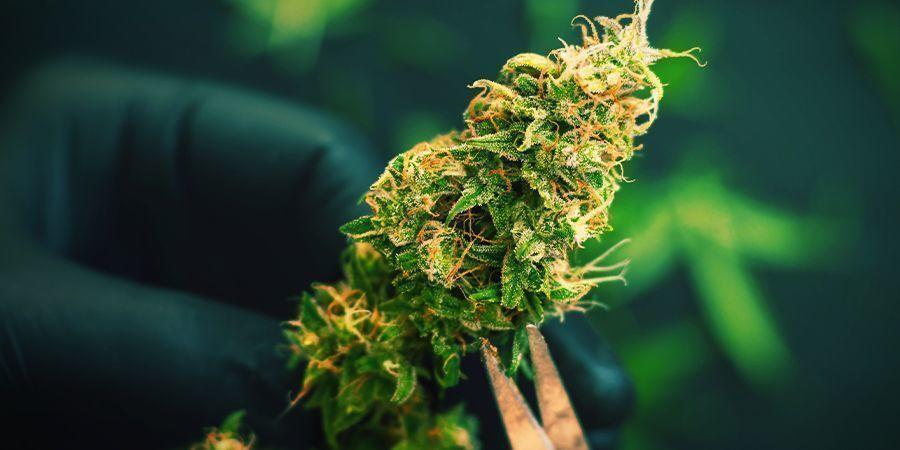 Harvesting Your Cannabis Guerrilla Grow