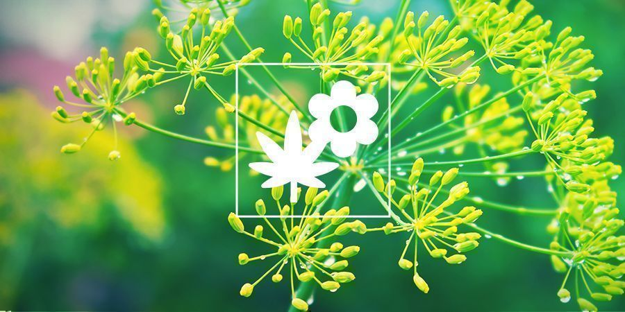 Cannabis Companion Planting: Dill