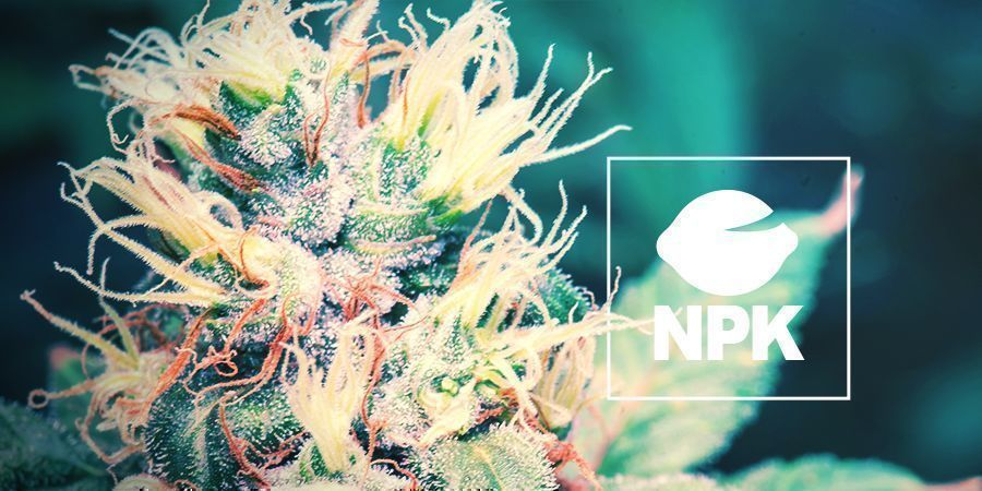 Nutrients And Growing Cannabis