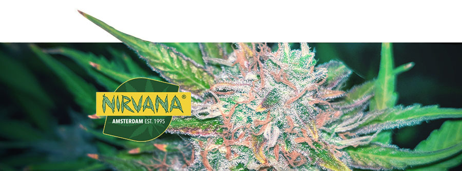 Information About Nirvana Seeds