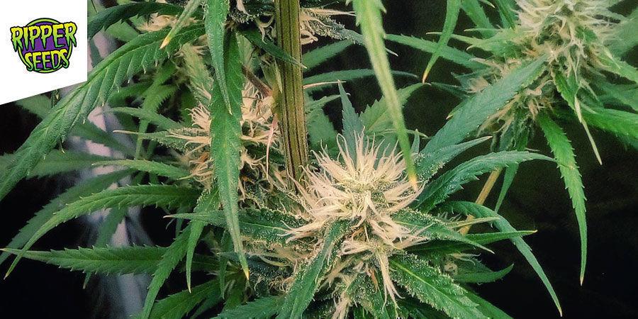 Ripper Haze - Ripper Seeds