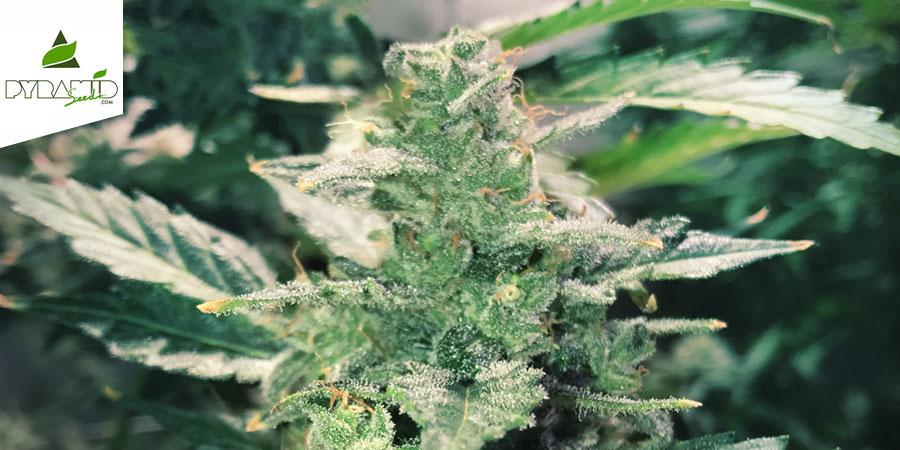 Auto Anesthesia (Pyramid Seeds) Feminized