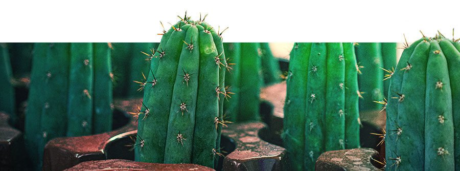 Information About Mescaline Cacti