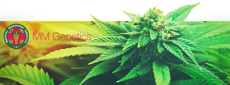 Information Medical Marijuana Genetics