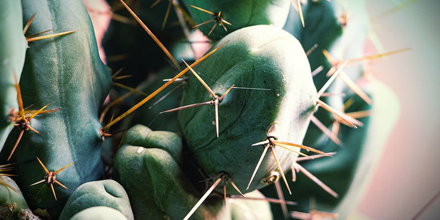 Bolivian Torch (Echinopsis lageniformis