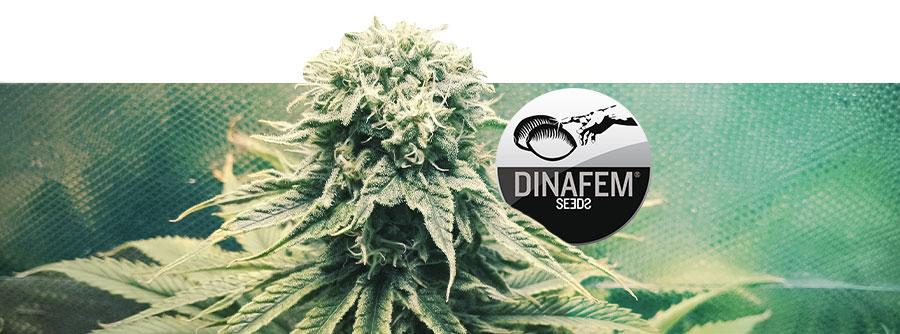 Information About Dinafem