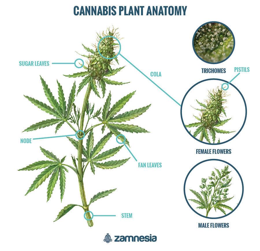 Cannabis Anatomy